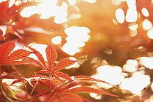 Ahornblatt,rot,japanisch