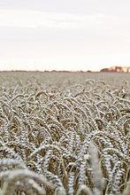 Blick auf das Weizenfeld