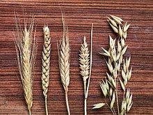 Getreide,Vielfalt,Holz