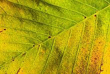 Makroaufnahme,Detail,Details,Ausschnitt,Ausschnitte,Farbaufnahme,Farbe,Farbe,Farben,Helligkeit,Europa,drehen,Konzept,gelb,grün,Close-up,Herbst,Laub,Färbemittel,Schweiz