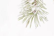 Bereifte Kiefernzweige (Pinus), Schweden, Europa