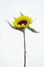 Wasser ,Sonnenblume, helianthus annuus ,heraustropfen, tropfen, undicht