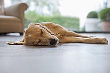Hund schläft auf dem Wohnzimmerboden
