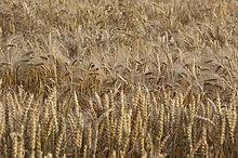 Reifes Mischgetreide mit Gerste und Weizen