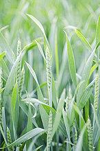 Deutschland, Baden Württemberg, Blick auf das Maisfeld
