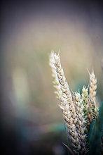 Weizenähre, close-up