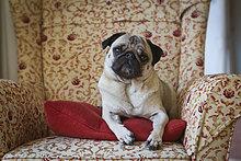 Mops liegt auf einem Sessel