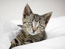 Kätzchen entspannt in Decken