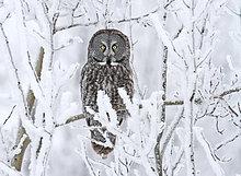 Bartkauz, Strix nebulosa ,Wald ,hocken - Tier ,Saskatchewan ,Kanada ,Schnee