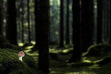 Fliegenpilz (Amanita muscaria) auf Waldboden mit Fichtenwald, Deutschland