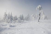 Kleine verschneite Birke auf dem Kniebis im Nordschwarzwald bei Hochnebel, Schwarzwald, Baden-Württemberg, Deutschland, Europa NON EXCLUSIVE NUTZUNG FÜR HANDELSKALENDER, 2015, GEBIET: D, A, CH
