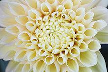 Blume,Close-up,Blütenblatt