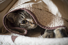 Tabby-Katze versteckt unter einer Decke