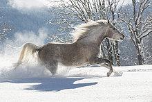 Vollblut Araber Stute im Schnee, Tirol, Österreich, Europa