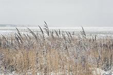 Schilf im Frost, Sylt, Schleswig-Holstein, Deutschland, Europa