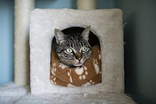 Tabby-Katze, die zu Hause den Kopf in sein Versteck steckt
