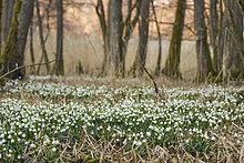 Großes Schneeglöckchen, Leucojum vernum, Oberpfalz, Bayern, Deutschland, Europa