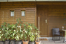 Tomato plants growing outside garden shed