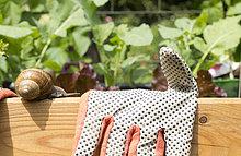 Garden snail moving towards glove on wooden bench