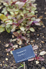 Small plants with red and green leaves growing in the soil in a vegetable garden.