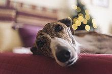 Portrait von Greyhound auf der Couch liegend zur Weihnachtszeit