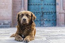 Peru, Cusco, streunender Hund