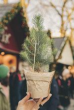 Hand hält einen kleinen Baum auf dem Weihnachtsmarkt.