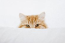 Porträt einer Ingwer-Katze, die sich hinter einem Kissen versteckt.