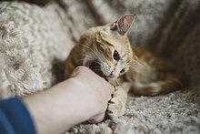 Tabby Katze beißt Hand seines Besitzers