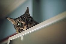 Porträt einer Katze, die sich zu Hause entspannen kann.