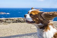 Spanien, Katalonien, Costa Brava, Cap de Creus, Cadaques, Cavalier König Charles Spaniel im Wind