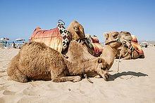 Marokko, Tanger, am Strand liegende Kamele