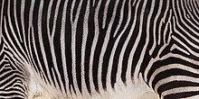 Grevyi Zebra, Teilansicht