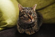 Portrait einer Katze auf der Couch liegend